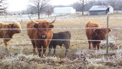 scottish-highland-cattle- (15)
