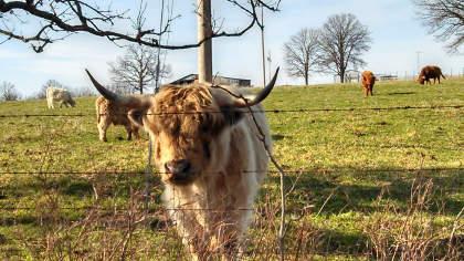 scottish-highland-cattle- (18)