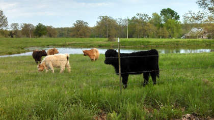 scottish-highland-cattle- (19)