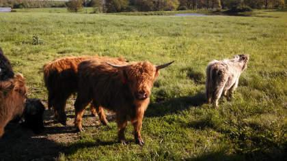 scottish-highland-cattle- (7)