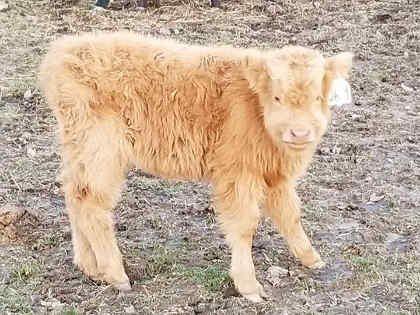 scottish-highland-cattle- (1)