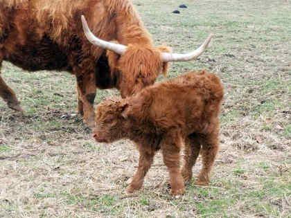 scottish-highland-cattle- (2)