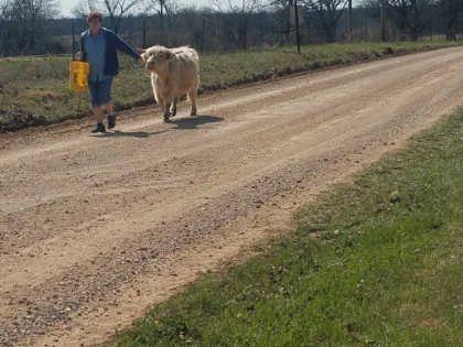 scottish-highland-cattle- (3)